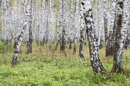 wild food black birch