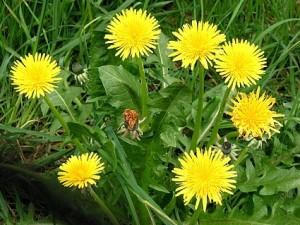 wild food dandelion
